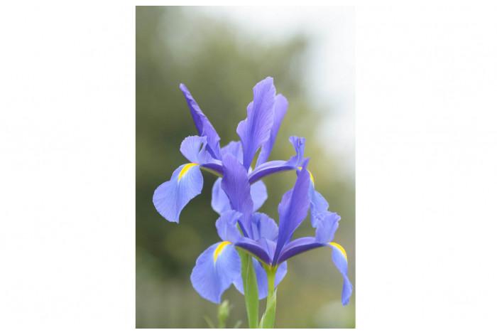 Картина Светло-голубой ирис