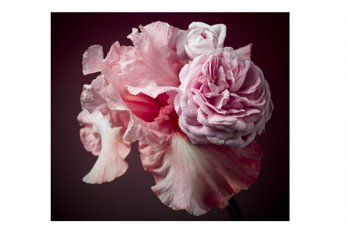 Картина Розовый ирис