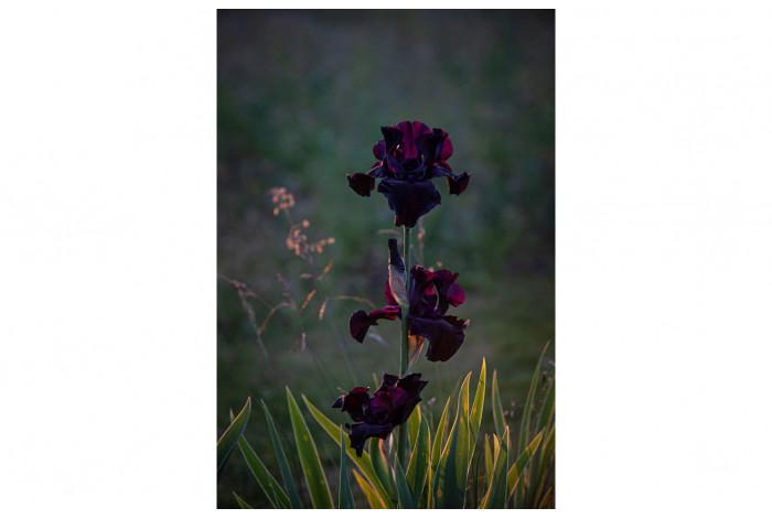 Картина Тёмно-бордовый ирис