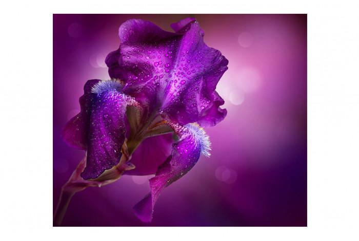 Картина Ирис фиолетовый с каплями