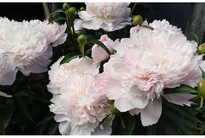Светло-розовый пион