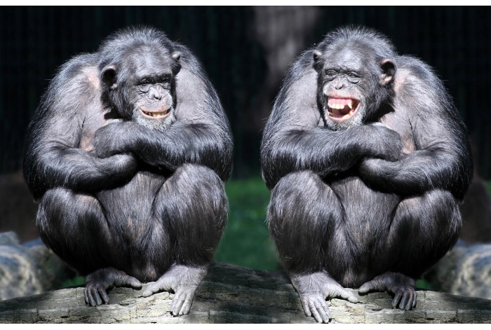 Модульная картина Шимпанзе