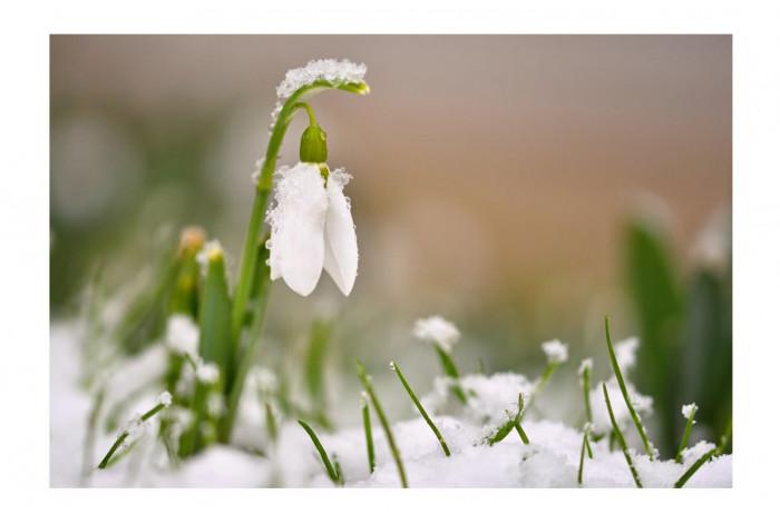 Картина Подснежник  в снегу