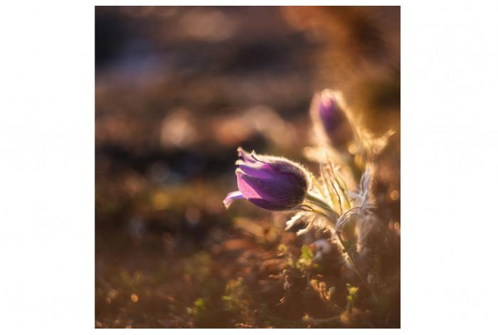Картина Подснежник фиолетовый